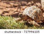Stock photo burmese star tortoise geochelone platynota is a critically endangered species found in myanmar 727996105