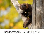 majestic wolverine hang on a... | Shutterstock . vector #728118712
