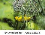 Small photo of African golden weaver (Holub's golden weaver) builds the nest. Uganda.