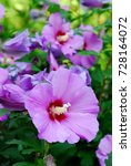 Small photo of Althea, hibiscus syriacus