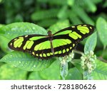 Small photo of Scarce bamboo page, Philaethria dido. butterfly, Nymphalidae family. Amazon rainforest, Brazil.
