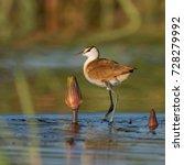 lesser jacana walking on water  ...   Shutterstock . vector #728279992
