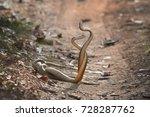 indian rat snake  ptyas mucosa. ... | Shutterstock . vector #728287762