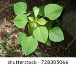 Small photo of Acalypha indica indian herb plant