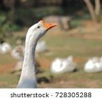 closeup of white goose head | Shutterstock . vector #728305288