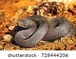 black vipera berus on forest... | Shutterstock . vector #728444206
