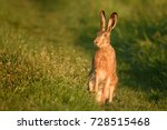 European Hare Stands In The...