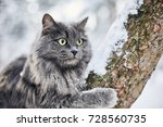 Russian Blue Cat In Winter...