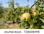 picking golden delicious apples ... | Shutterstock . vector #728608498