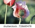 Meadow With Lilac Poppy Flowers ...