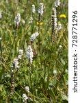Small photo of Polygonum viviparum or alpine bistort