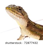 animal lizard Chinese tree dragon isolated - stock photo