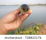 freshwater puffer green spotted ... | Shutterstock . vector #728822176