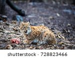 hungry lynx eating piece of... | Shutterstock . vector #728823466