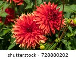 Head Of  Red Dahlia Flower In...