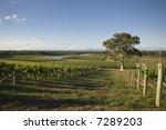 Vineyard In The Hunter Valley...