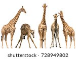 Set Of Five Giraffe Portraits ...