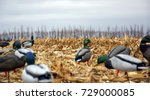 Duck Hunting Decoys In A Corn...