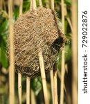 A Pretty Thick Bill Weaver Nest.