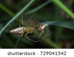 female lynx spider bite male... | Shutterstock . vector #729041542