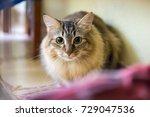 mixed breed cat hiding under... | Shutterstock . vector #729047536