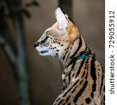 Serval Cat Profile