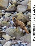 Small photo of Pribilof Islands Arctic Fox (Alopex lagopus pribilofensis) St. George Island, Pribilof Islands, Alaska, USA