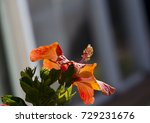 orange suffused with carmine...   Shutterstock . vector #729231676