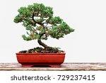 Pine Juniper bonzai.