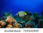 angel butterflyfish. wide angle ... | Shutterstock . vector #729242905