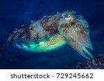 macro shot of the cuttlefish. a ...   Shutterstock . vector #729245662