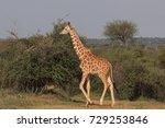 reticulated giraffe   Shutterstock . vector #729253846
