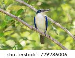 The Collared Kingfisher ...