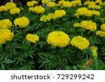 marigold flowers in the garden. | Shutterstock . vector #729299242