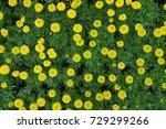 marigold flowers in the garden. | Shutterstock . vector #729299266