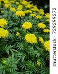 marigold flowers in the garden. | Shutterstock . vector #729299272