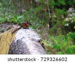 least chipmunk  canada | Shutterstock . vector #729326602