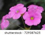 """""""bowie's Wood Sorrel"""" Flower ..."""