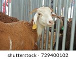 goats from selected breeds are... | Shutterstock . vector #729400102