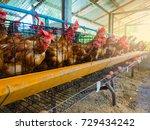 Organic Farming Feeding Chicken Farm - Fine Art prints