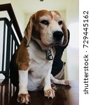 beagle | Shutterstock . vector #729445162