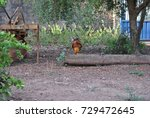 cock  | Shutterstock . vector #729472645