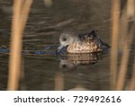 Small photo of American Widgeon Female