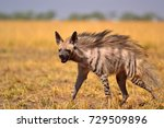 indian striped hyena | Shutterstock . vector #729509896