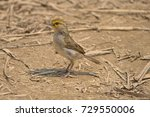 Small photo of Yellow-browed Sparrow (Ammodramus aurifrons) on the ground in the Tambopata National Reserve. Madre de Dios, Peru