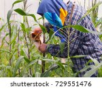 plant breeder are pollen... | Shutterstock . vector #729551476