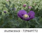 Purple Peony Poppy In Spring...
