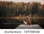 Stock photo two dogs outdoors friendship relationship together nova scotia duck tolling retriever toller 729708538