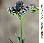Small photo of Salt heliotrope, Seaside heliotrope, Heliotropium curassavicum, creeping perennial herb with somewhat fleshy smooth leaves, white flowers in two rows on a coiled inflorescence, fruits eaten by birds.