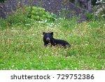 black bear in grass and flowers | Shutterstock . vector #729752386